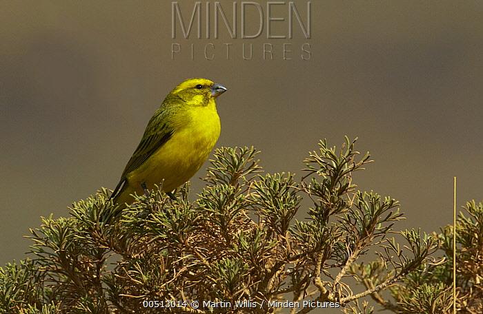Yellow Canary (Serinus flaviventris), Sani Pass, Drakensberg, South Africa  -  Martin Willis