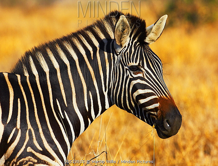 Burchell's Zebra (Equus burchellii), Kruger National Park, South Africa  -  Martin Willis