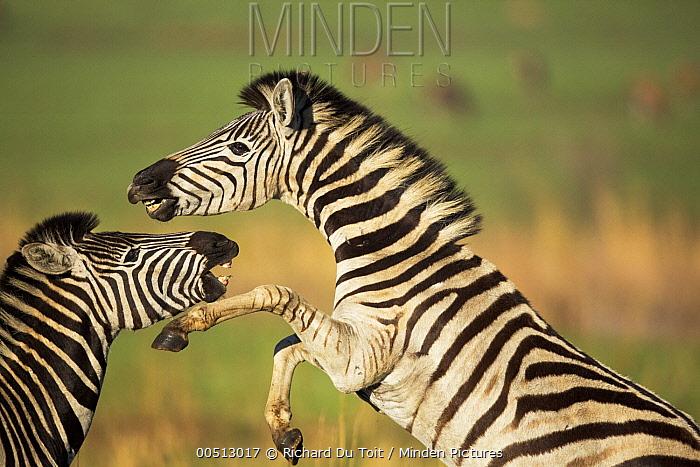 Burchell's Zebra (Equus burchellii) males fighting, Rietvlei Nature Reserve, Gauteng, South Africa  -  Richard Du Toit