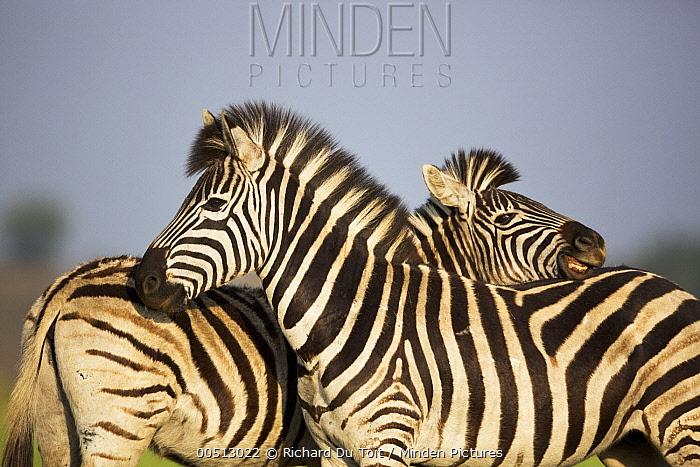 Burchell's Zebra (Equus burchellii) pair, Rietvlei Nature Reserve, Gauteng, South Africa  -  Richard Du Toit