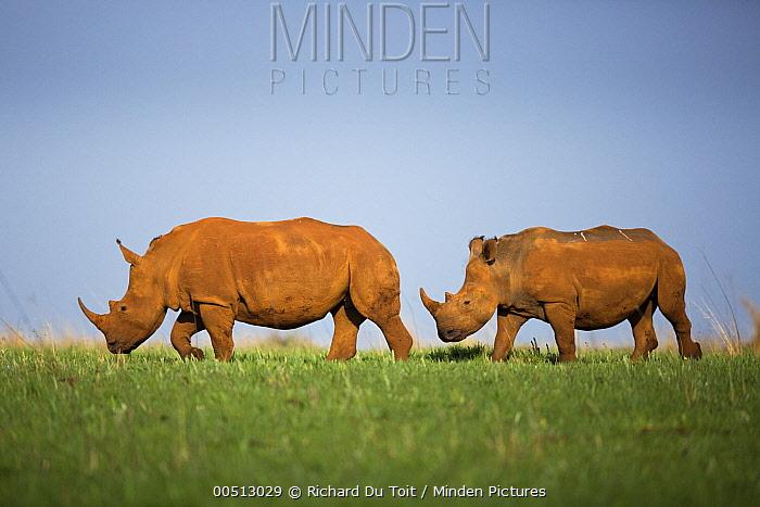 White Rhinoceros (Ceratotherium simum) pair walking, Rietvlei Nature Reserve, Gauteng, South Africa  -  Richard Du Toit