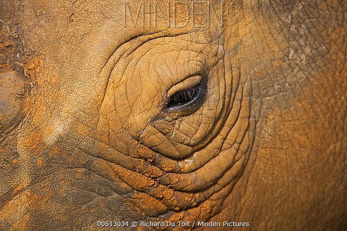 White Rhinoceros (Ceratotherium simum) eye, Rietvlei Nature Reserve, Gauteng, South Africa  -  Richard Du Toit