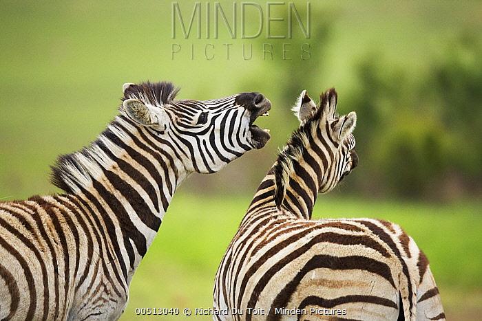 Burchell's Zebra (Equus burchellii) pair interacting, Rietvlei Nature Reserve, Gauteng, South Africa  -  Richard Du Toit