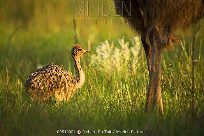 Ostrich (Struthio camelus) juvenile near parent, Rietvlei Nature Reserve, Gauteng, South Africa  -  Richard Du Toit