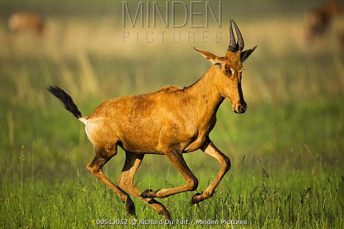Common Hartebeest (Alcelaphus buselaphus) running, Rietvlei Nature Reserve, Gauteng, South Africa  -  Richard Du Toit