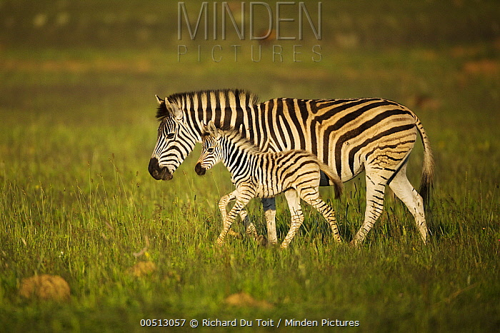Burchell's Zebra (Equus burchellii) parent and foal, Rietvlei Nature Reserve, Gauteng, South Africa  -  Richard Du Toit