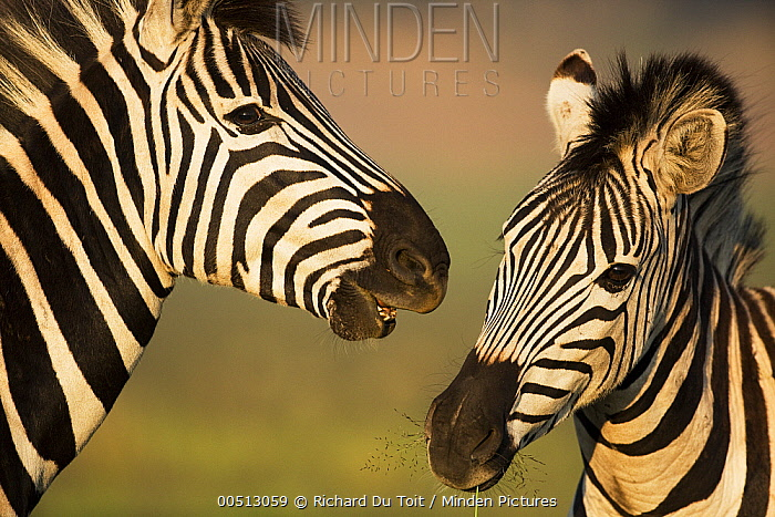Burchell's Zebra (Equus burchellii) in competitive interaction, Rietvlei Nature Reserve, Gauteng, South Africa  -  Richard Du Toit