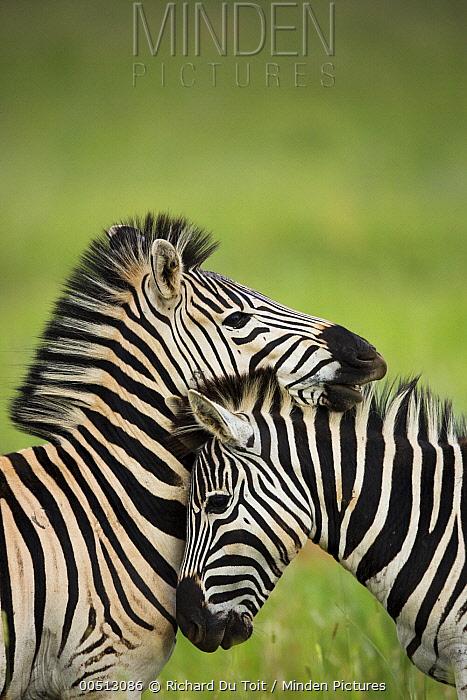 Burchell's Zebra (Equus burchellii) pair nuzzling, Rietvlei Nature Reserve, Gauteng, South Africa  -  Richard Du Toit