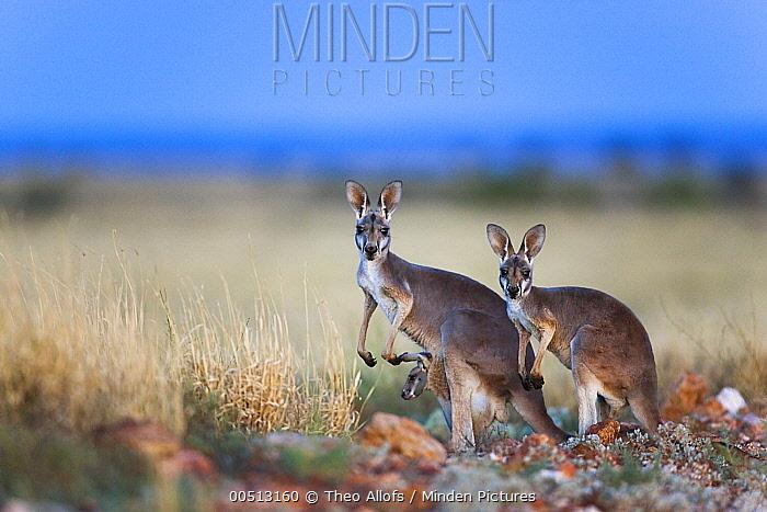 Red Kangaroo (Macropus rufus) female with two babies, Sturt National Park, Australia  -  Theo Allofs