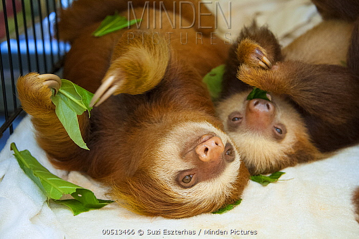 Hoffmann's Two-toed Sloth (Choloepus hoffmanni) orphaned babies eating almond tree leaves, Aviarios Sloth Sanctuary, Costa Rica  -  Suzi Eszterhas