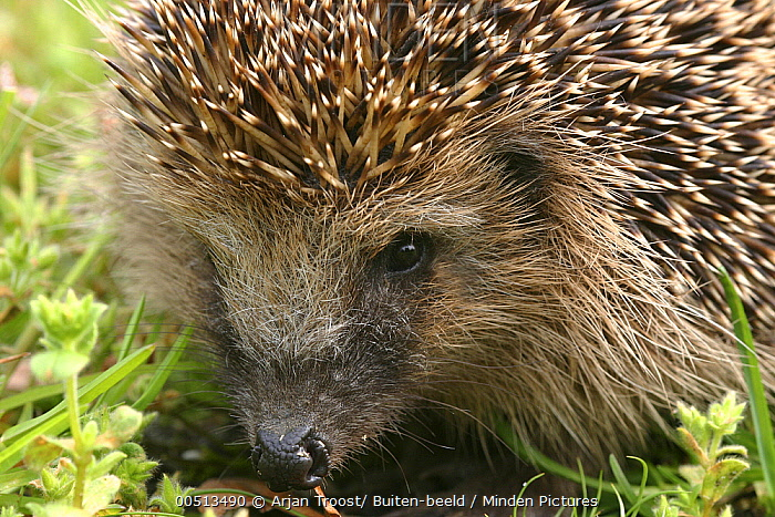 Brown-breasted Hedgehog (Erinaceus europaeus), Rijssen, Netherlands  -  Arjan Troost/ Buiten-beeld