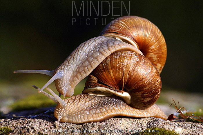 Edible Snail (Helix pomatia) pair courting, Saint-Christophe, France  -  Tobias Dansen/ Buiten-beeld