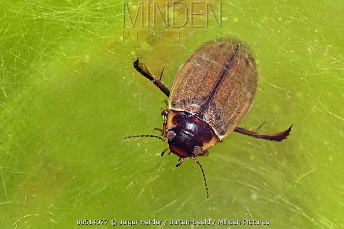 Water Beetle (Colymbetes fuscus), Nijmegen, Netherlands  -  Jelger Herder/ Buiten-beeld