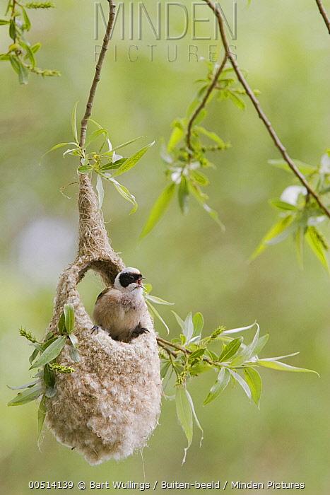 Eurasian Penduline-Tit (Remiz pendulinus) male singing from unfinished nest, Netherlands  -  Bart Wullings/ Buiten-beeld