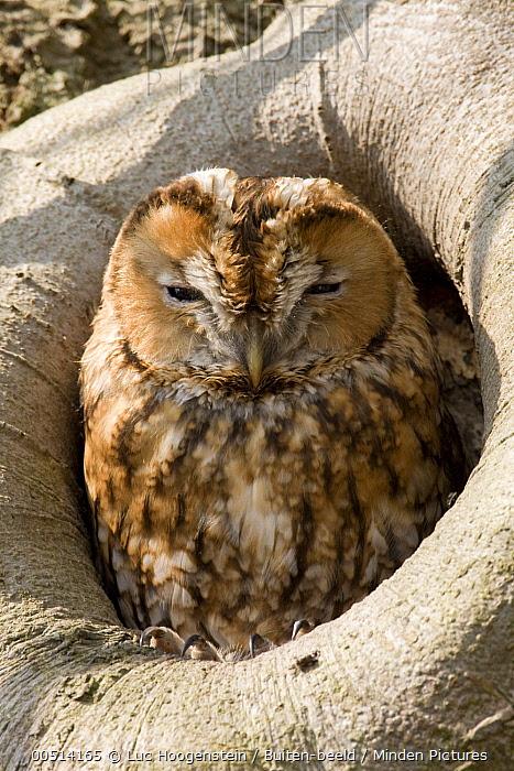 Tawny Owl (Strix aluco) in nest cavity, Utrecht, Netherlands  -  Luc Hoogenstein/ Buiten-beeld