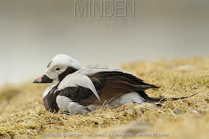 Long-tailed Duck (Clangula hyemalis) male in winter plumage, Berlevag, Finnmark  -  Dirk-Jan van Unen/ Buiten-beeld