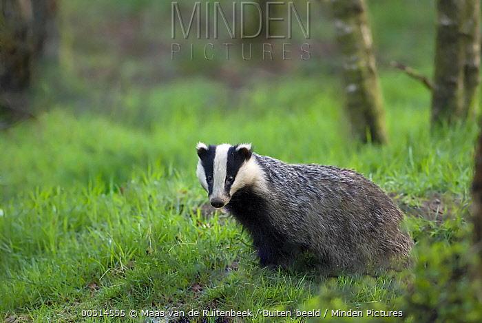 Eurasian Badger (Meles meles), Europe  -  Maas van de Ruitenbeek/ Buiten-b