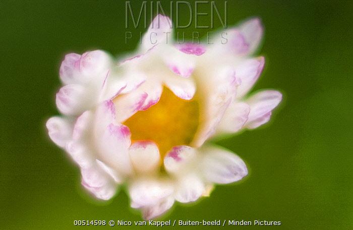 Common Daisy (Bellis perennis), Zuidland, Netherlands  -  Nico van Kappel/ Buiten-beeld