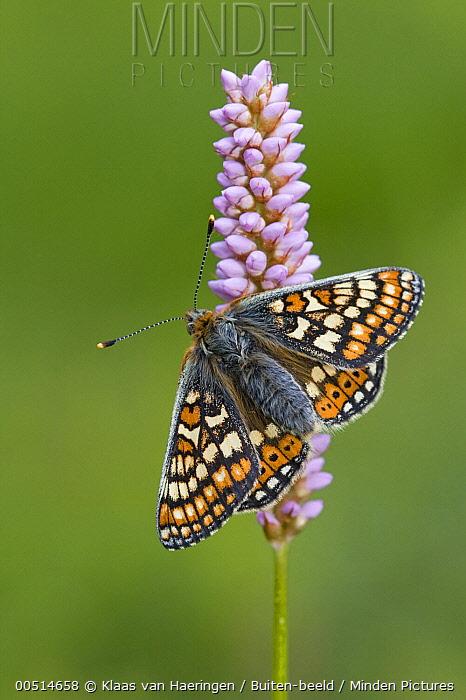 Marsh Fritillary (Euphydryas aurinia) butterfly male, Europe  -  Klaas van Haeringen/ Buiten-beel