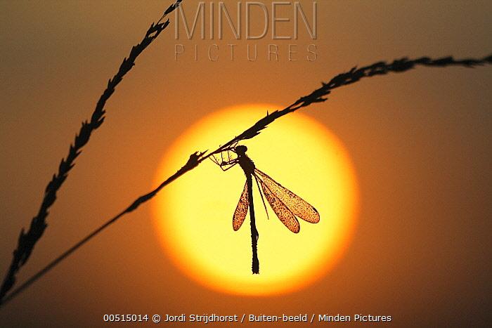 Emerald Damselfly (Lestes sponsa) silhouetted at sunset, Elspeet, Netherlands  -  Jordi Strijdhorst/ Buiten-beeld