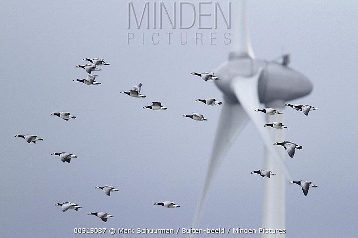 Barnacle Goose (Branta leucopsis) flock flying past wind turbine, Wadden Sea, Netherlands  -  Mark Schuurman/ Buiten-beeld