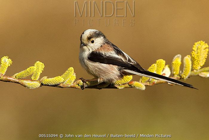 Long-tailed Tit (Aegithalos caudatus), Dordrecht, Netherlands  -  John van den Heuvel/ Buiten-beel