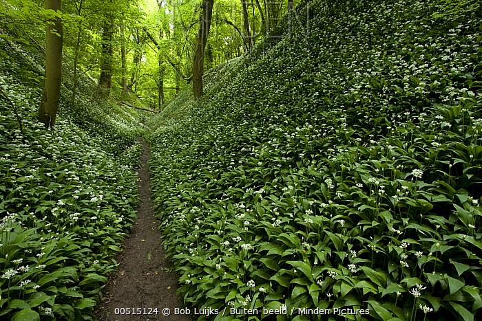 Wild Garlic (Allium ursinum) growing in understory with path, Gronsveld, Netherlands  -  Bob Luijks/ Buiten-beeld