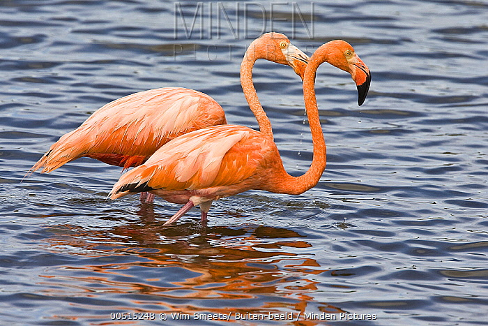 Greater Flamingo (Phoenicopterus ruber) pair, Kralendijk, Dutch Antilles  -  Wim Smeets/ Buiten-beeld
