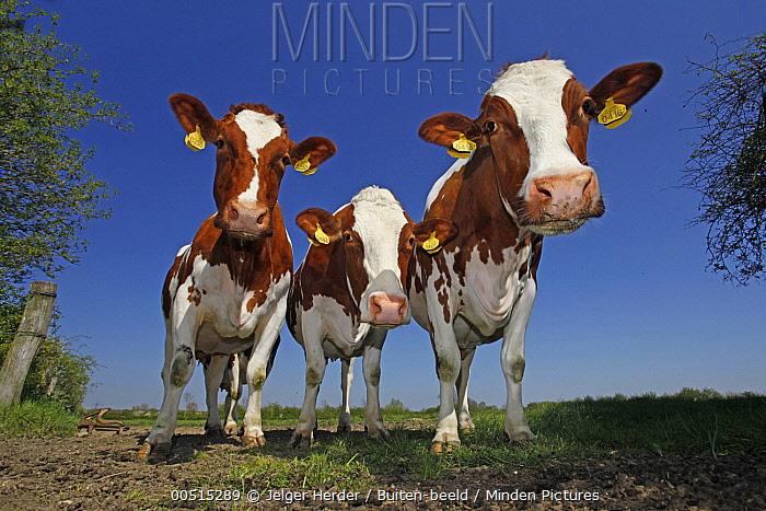 Domestic Cattle (Bos taurus) trio, Oeffelt, Netherlands  -  Jelger Herder/ Buiten-beeld