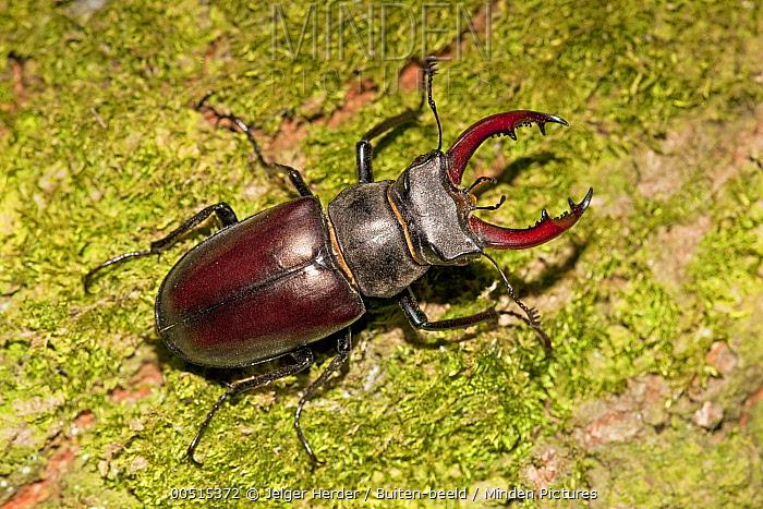 Stag Beetle (Lucanus cervus) male, Netherlands  -  Jelger Herder/ Buiten-beeld