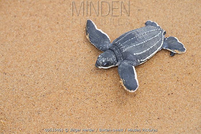 Leatherback Sea Turtle (Dermochelys coriacea) hatchling walking over beach to sea, Babunsanti Beach, Surinam  -  Jelger Herder/ Buiten-beeld
