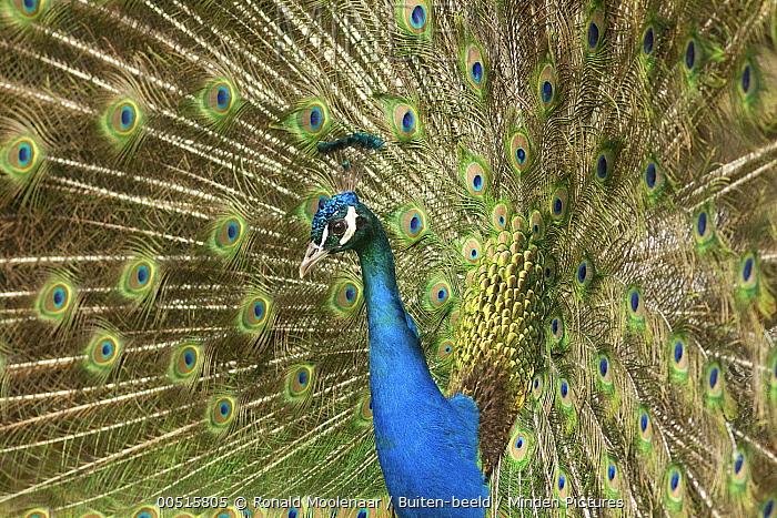 Indian Peafowl (Pavo cristatus) male fanning out its tail feathers, Alblasserwaard, Netherlands  -  Ronald Moolenaar/ Buiten-beeld