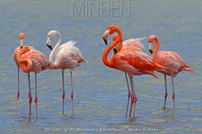 Greater Flamingo (Phoenicopterus ruber) group, Curacao, Dutch Antilles  -  Wil Meinderts/ Buiten-beeld
