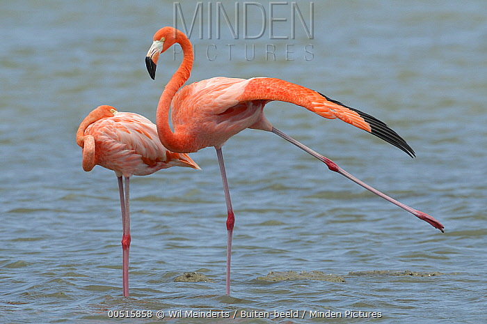 Greater Flamingo (Phoenicopterus ruber) pair sleeping and stretching, Curacao, Dutch Antilles  -  Wil Meinderts/ Buiten-beeld