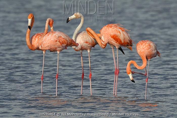 Greater Flamingo (Phoenicopterus ruber), Curacao, Dutch Antilles  -  Wil Meinderts/ Buiten-beeld