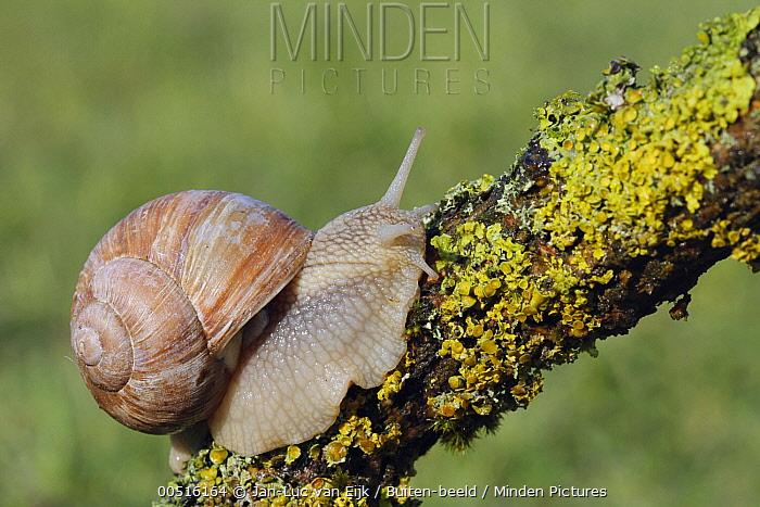 Edible Snail (Helix pomatia), Hellenthal, Germany  -  Jan-Luc van Eijk/ Buiten-beeld