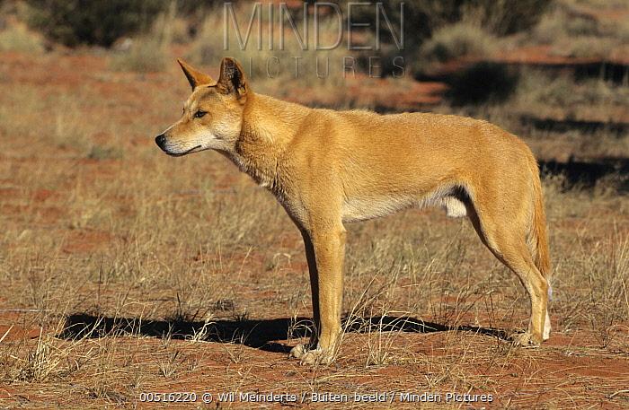 Dingo (Canis lupus dingo) male, Australia  -  Wil Meinderts/ Buiten-beeld