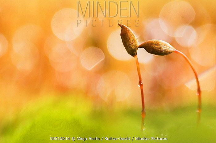 Polytrichum Moss (Polytrichum piliferum) showing fruiting heads with spore capsules, Uden, Netherlands  -  Misja Smits/ Buiten-beeld