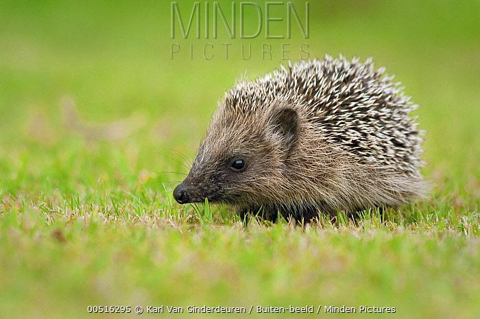 Brown-breasted Hedgehog (Erinaceus europaeus) juvenile, Aalst, Belgium  -  Karl Van Ginderdeuren/ Buiten-be