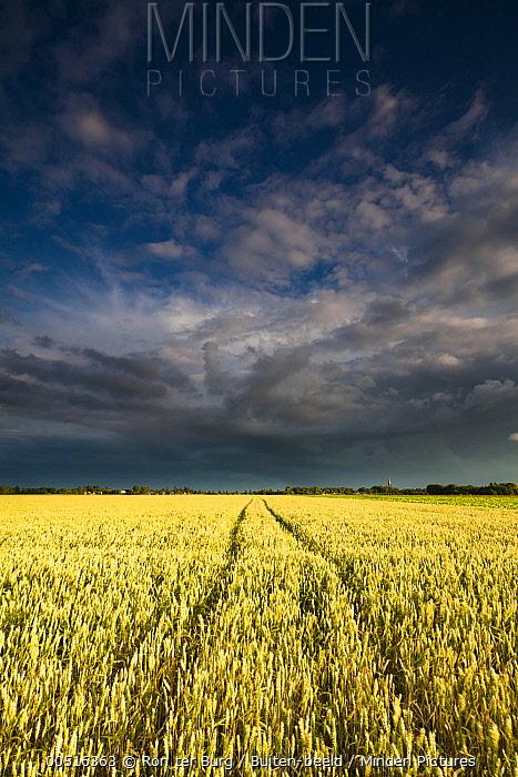 Thunderstorm over grain fields, Kloosterburen, Netherlands  -  Ron ter Burg/ Buiten-beeld