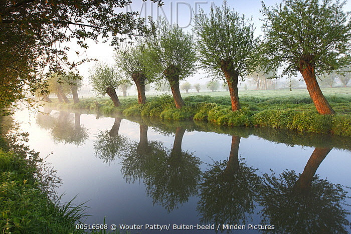 Willow (Salix sp) row along canal, Zwalm River, Belgium  -  Wouter Pattyn/ Buiten-beeld