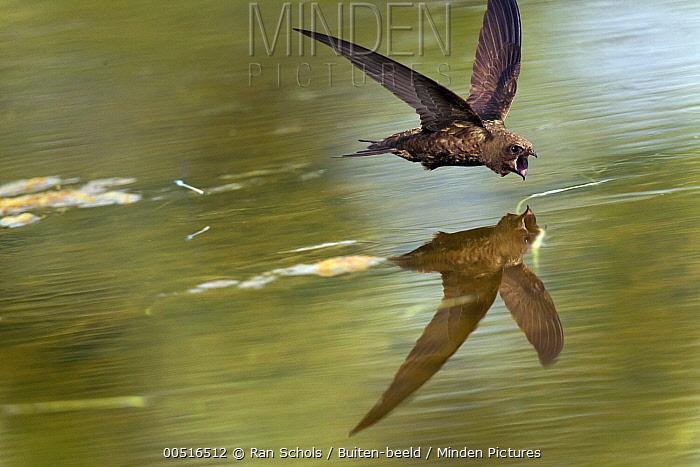 Common Swift (Apus apus) foraging with open bill over water's surface, Netherlands  -  Ran Schols/ Buiten-beeld