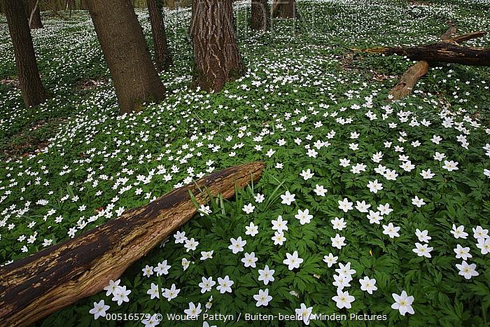 Wood Anemone (Anemone nemorosa), Zegelsem, Belgium  -  Wouter Pattyn/ Buiten-beeld