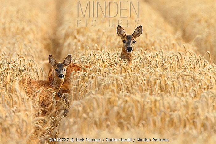 Western Roe Deer (Capreolus capreolus) mother and calf in grain field, Harfsen, Netherlands  -  Dick Pasman/ Buiten-beeld
