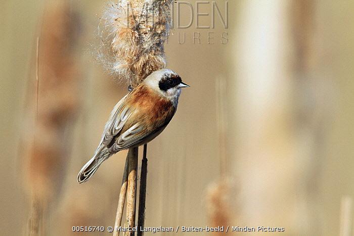 Eurasian Penduline-Tit (Remiz pendulinus) on cattail, Netherlands  -  Marcel Langelaan/ Buiten-beeld