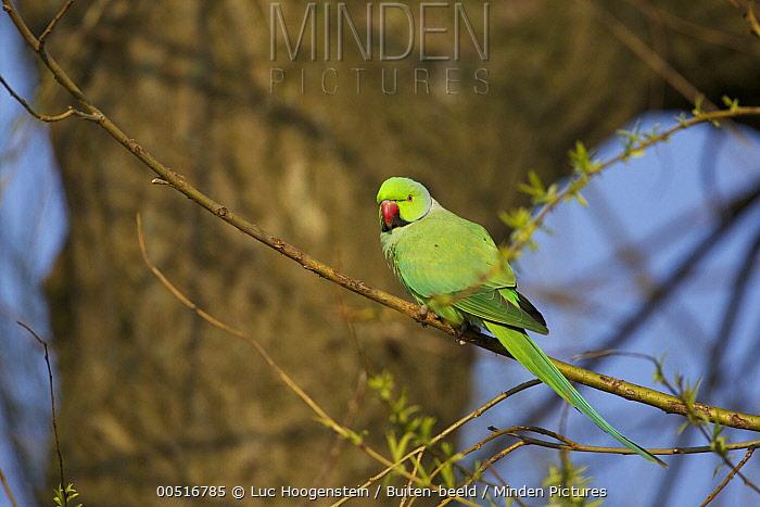 Rose-ringed Parakeet (Psittacula krameri) male, Amsterdam, Netherlands  -  Luc Hoogenstein/ Buiten-beeld
