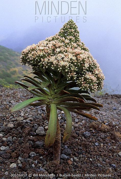 Stonecrop (Aeonium urbicum) flowering, Canary Islands, Spain  -  Wil Meinderts/ Buiten-beeld