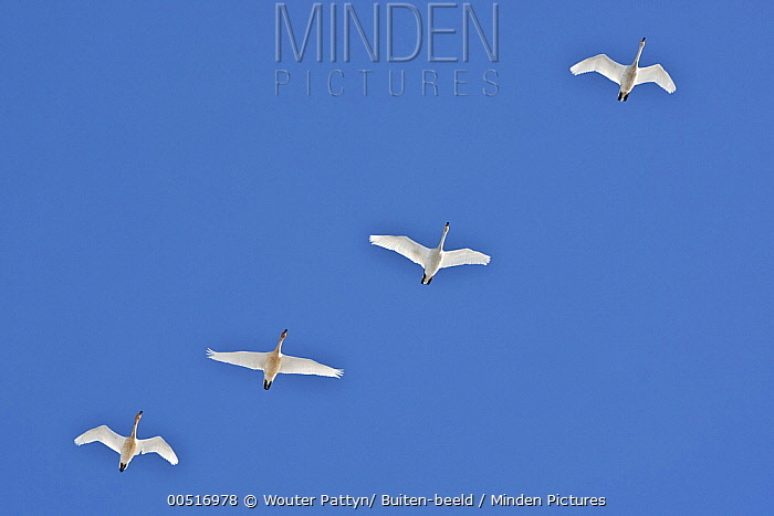 Whooper Swan (Cygnus cygnus) group in flight, Netherlands  -  Wouter Pattyn/ Buiten-beeld