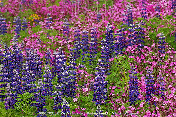Narrow-leaved Blue Lupin (Lupinus angustifolius) and Red Campion (Silene dioica), Iceland  -  Wil Meinderts/ Buiten-beeld