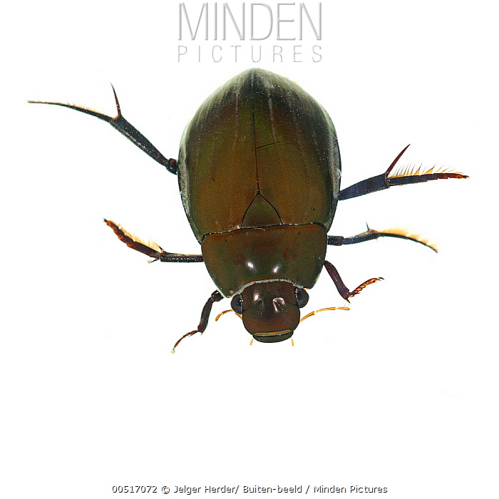Great Silver Beetle (Hydrophilus piceus), Didam, Netherlands  -  Jelger Herder/ Buiten-beeld